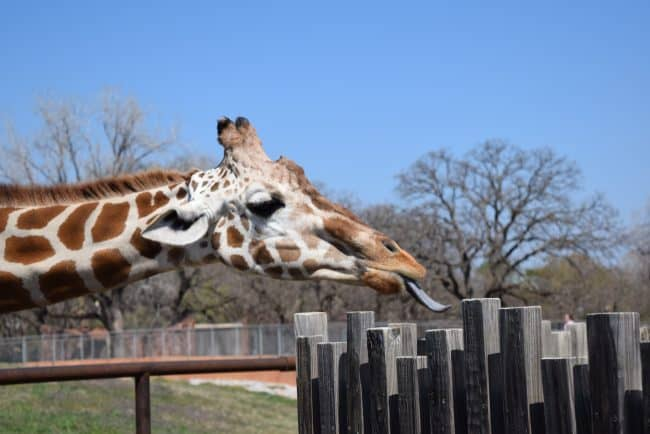 Giraffe Feeding - 5 Things Not to Miss at the Oklahoma City Zoo - Here are few fun kid-friendly activities the family will love