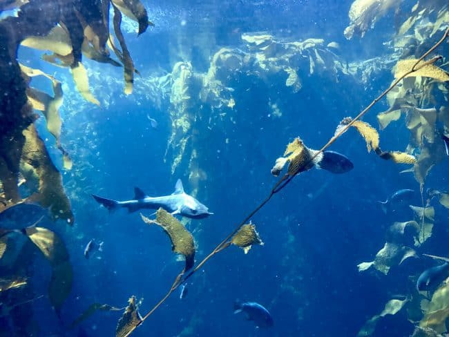 Monterey Bay Aquarium is a must for families when in Cannery Row and Monterey, CA. Find fun Things To Do in the area