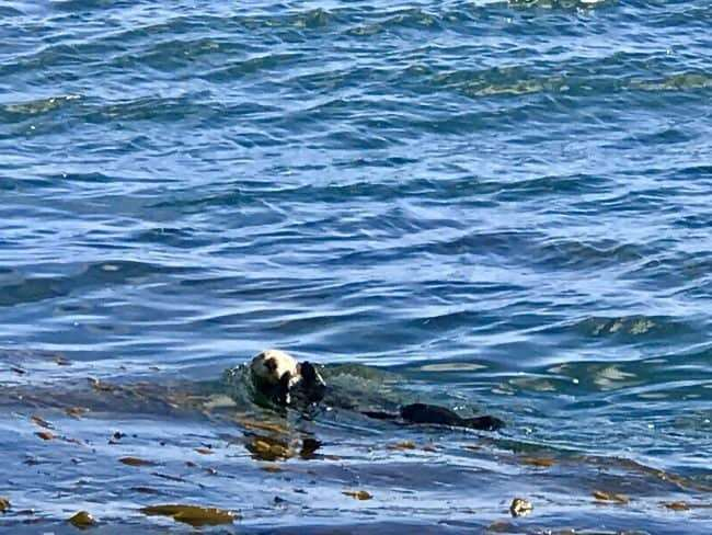 California Sea Otters can be found throughout Monterey Bay Marine Sanctuary 0 Things To Do in Monterey CA on Cannery Row