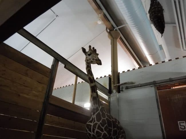 Giraffe Feeding Behind the Scenes
